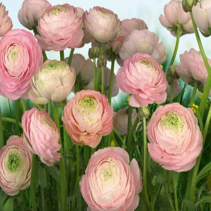 Gentle Rose SM8