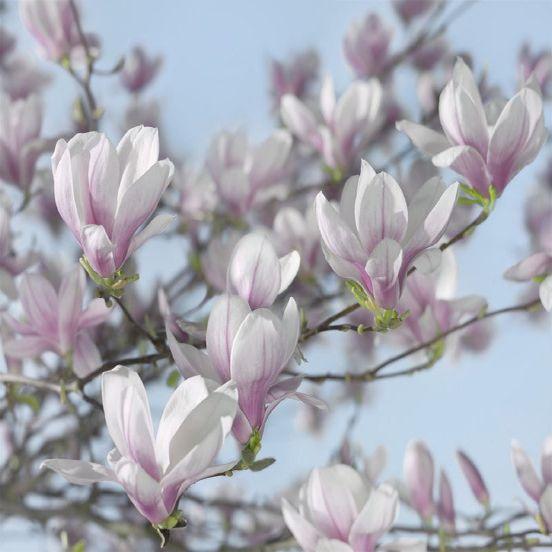 Magnolia SM64